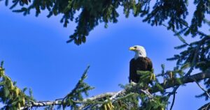 Bald Eagle in tree against a blue sky