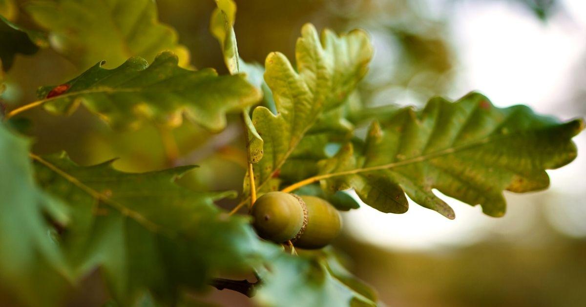 Tree with Acorns