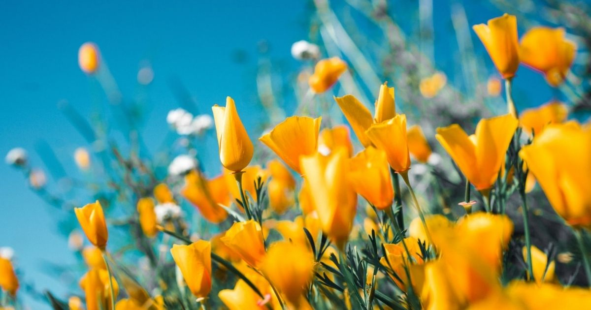 Yellow Poppies in a field